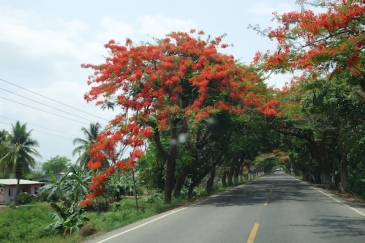 Poincianas, coconuts, banana palms and mangoes - typical Colombian roadside.
