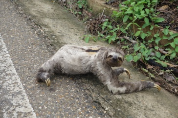 A Sloth crossing the road - very slowly!