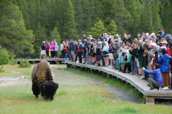 A bison gets in on the Old Faithful act!