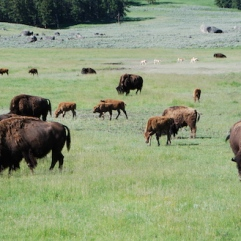 Bison and antelope grazing