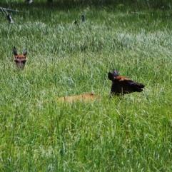Elk - water play time!