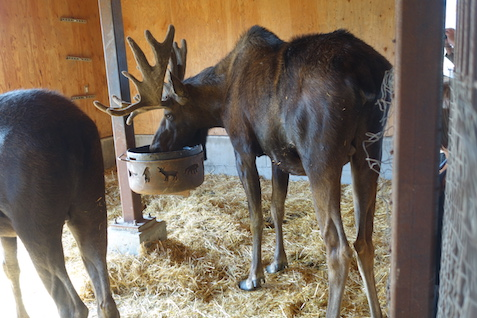 It was a hot day for moose so they were inside. this let us get very close. This animal is huge!