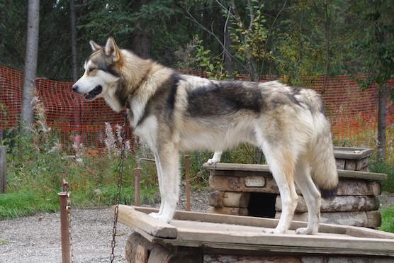 Alaskan Husky - working dog.