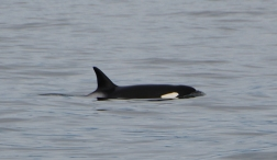 we saw 2 orcas swimming together.