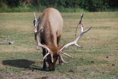 Elk rutting season. It's not that attractive.