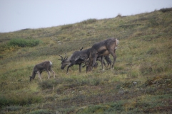 Caribou and kids
