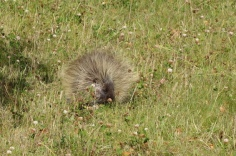 A porcupine gets into the act!